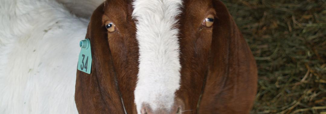 Mackenzie Creamery: Goat